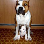 стаффордширский терьер с щеночком