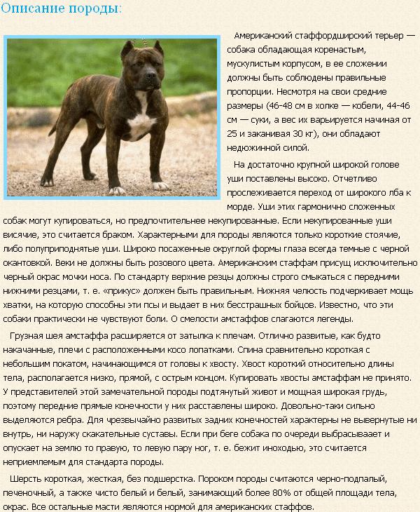 Описание породы стаффордширский терьер