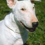 БУЛЬТЕРЬЕР English Bull Terrier