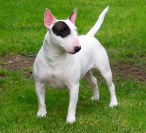 БУЛЬТЕРЬЕР(English Bull Terrier)