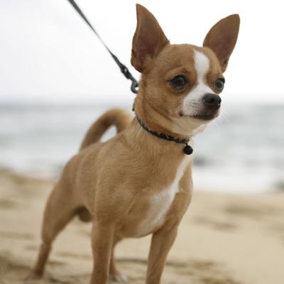 Чихуахуа супер обзор породы <b>собак</b> с фото и видео ...