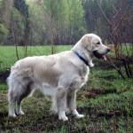 ЛАБРАДОР РЕТРИВЕР (Labrador Retriever)