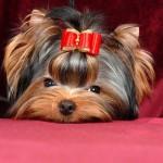 Йоркширский терьер(йорк, Yorkshire Terrier)