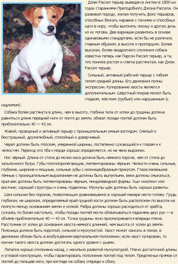Описание породы Джек-Рассел терьер