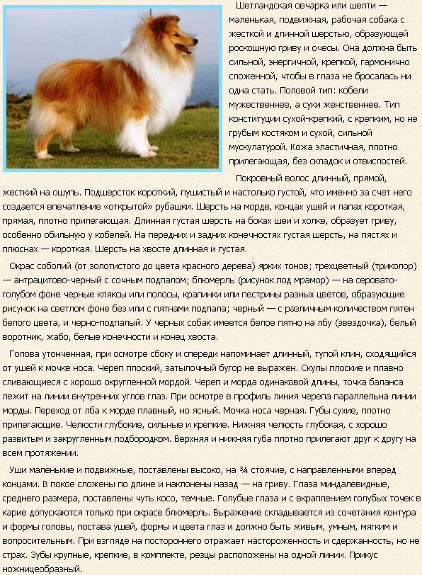 Описание породы шелти