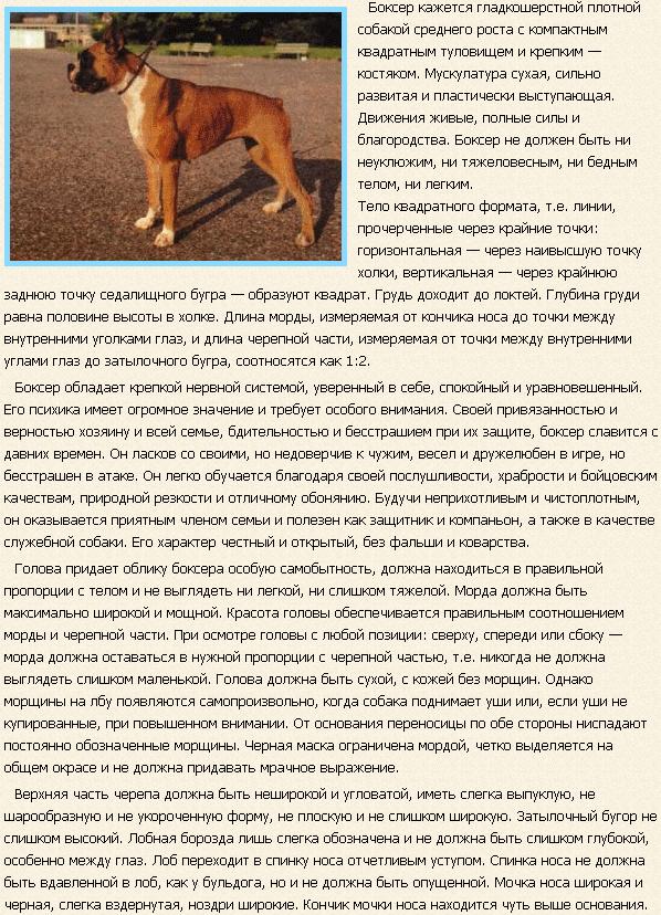 Описание породы собак боксер