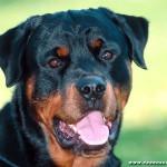 Ротвейлер (нем. Rottweiler)