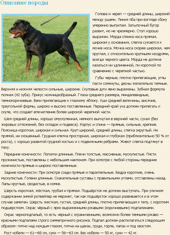 Описание породы ротвейлер