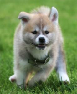 Акита ину - характеристика, фото и видео этой японской породы собак