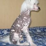 Китайская хохлатая собака фото
