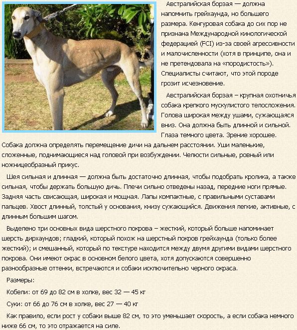 Описание породы собак австралийская борбая