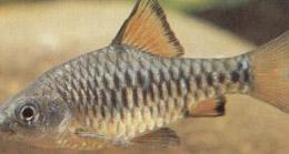 барбусы рыбки