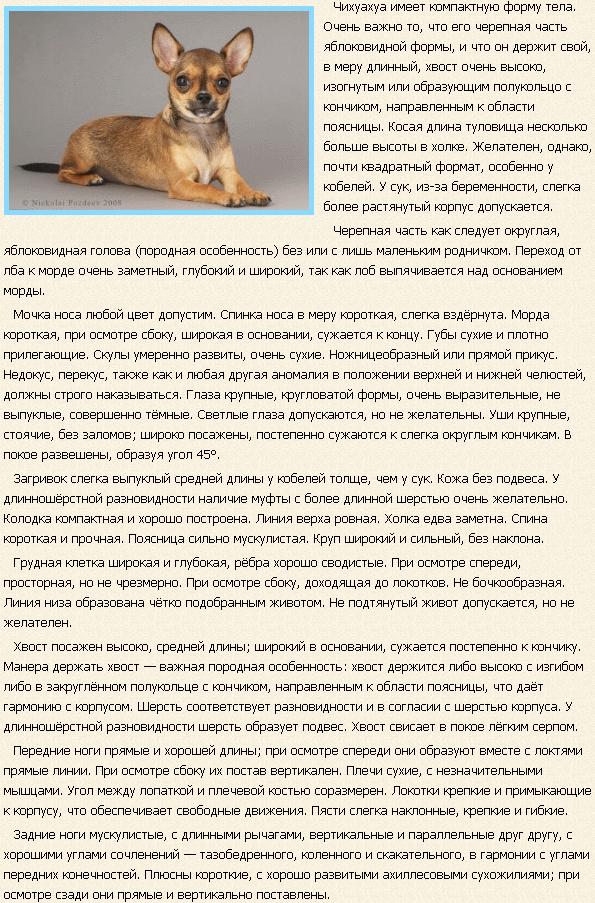Описание породы чихуахуа