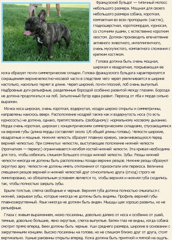 Описание породы французский бульдог