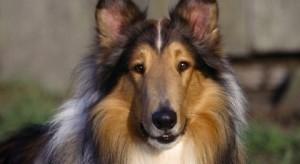 kolli-smart-dog
