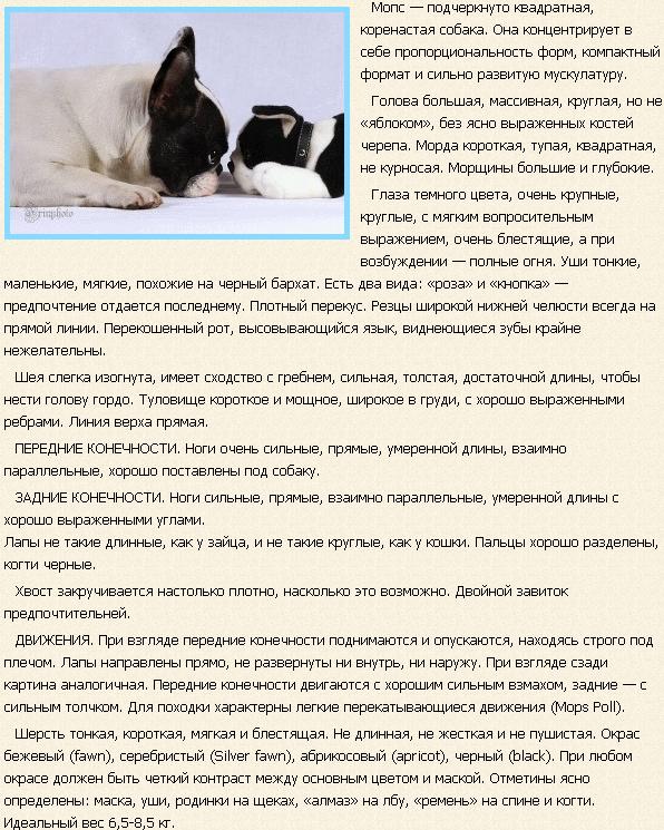 Мопс описание породы