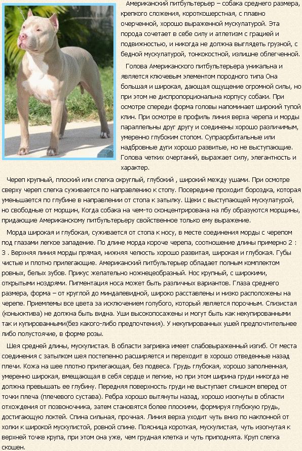 Описание породы американский питбультерьер
