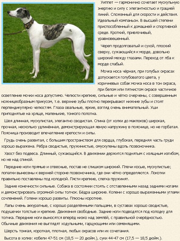 Описание породы уиппет