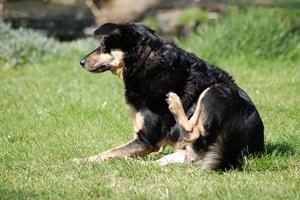 Блохи у собак: лучшее лечение
