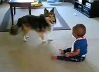 Новое видео про колли. Щенок колли играет с ребенком