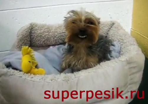 Собака Джои улыбается во весь рот ВИДЕО