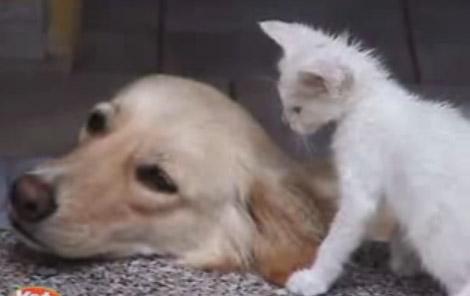 Собака лабрадор и маленький белый котёнок Видео
