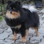 Фото собак питомника  ГОЛД БЕБИ