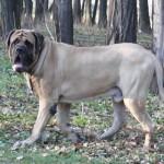anglijskij-mastif6
