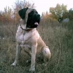 anglijskij-mastif7