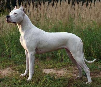 httpsuperpesik.ruargentinskij-dog-opisanie