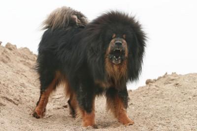httpsuperpesik.rutibetskij-mastif-xarakter