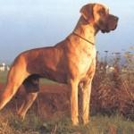 nemeckij-dog7