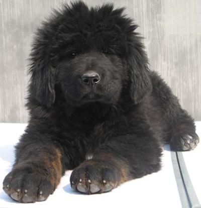 tibetskij-mastif3