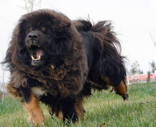 tibetskij-mastif
