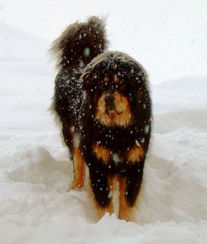 tibetskij-mastif7