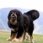 tibetskij-mastif78