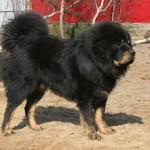 tibetskij-mastif8