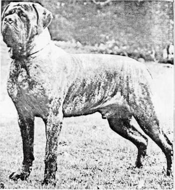 anglijskij-mastif0