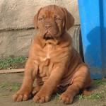 bordosskij-dog9