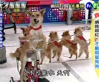 Cобачий цирк в Китае видео. Собаки ездят на велосипеде и ходят друг за дружкой.