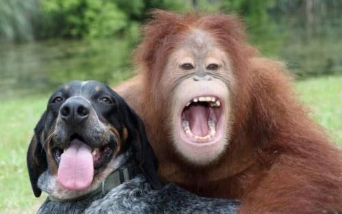 собака и орангутан