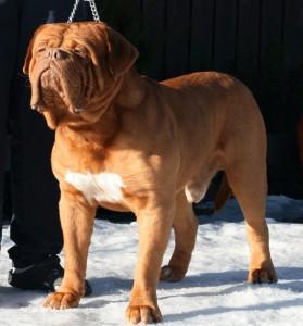 bordosskij-dog3