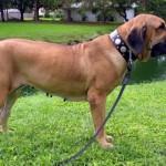 brazilskij-dog10