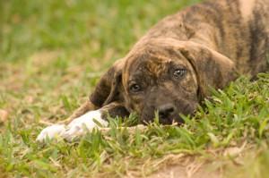brazilskij-dog3