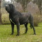 brazilskij-dog8