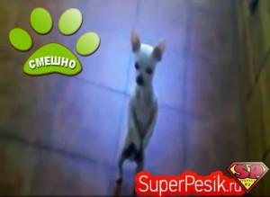 Чихуахуа танцует смешное видео