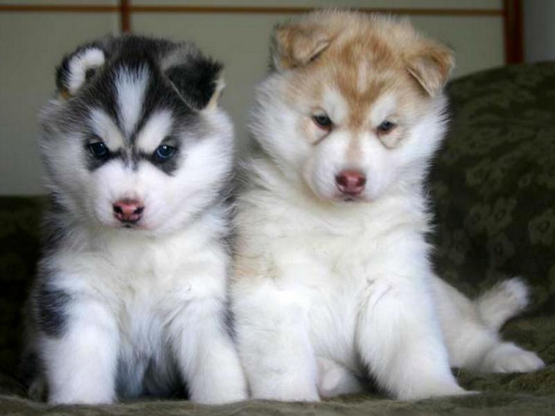 Хаски щенки