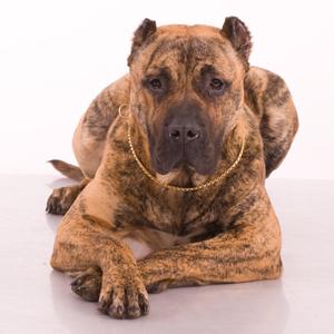 kanarskij-dog7