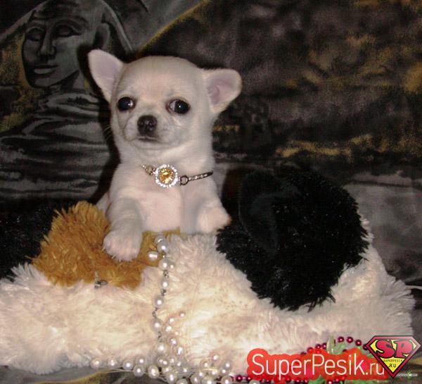 Чихуахуа купить собачку