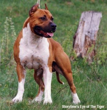 питбуль собака фото